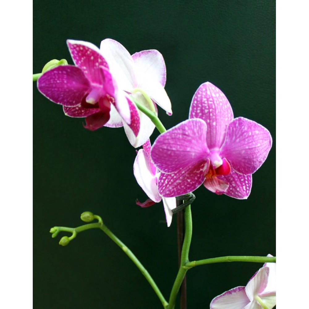Орхідея фаленопсис Montley