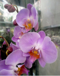 Phalaenopsis orchid Napoli