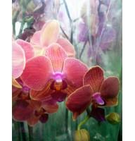 Орхідея фаленопсис Orange Love