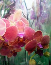 Phalaenopsis Orchid Orange Love