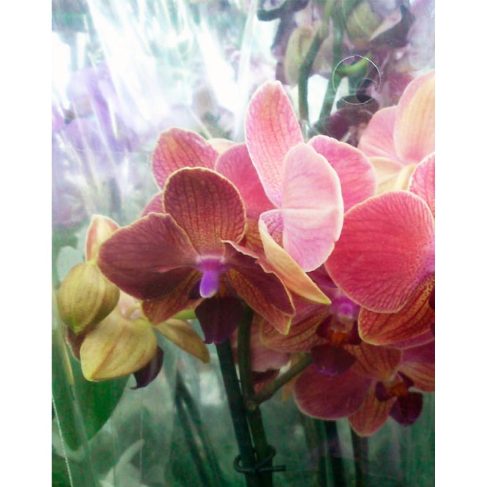 Орхидея фаленопсис Orange Love