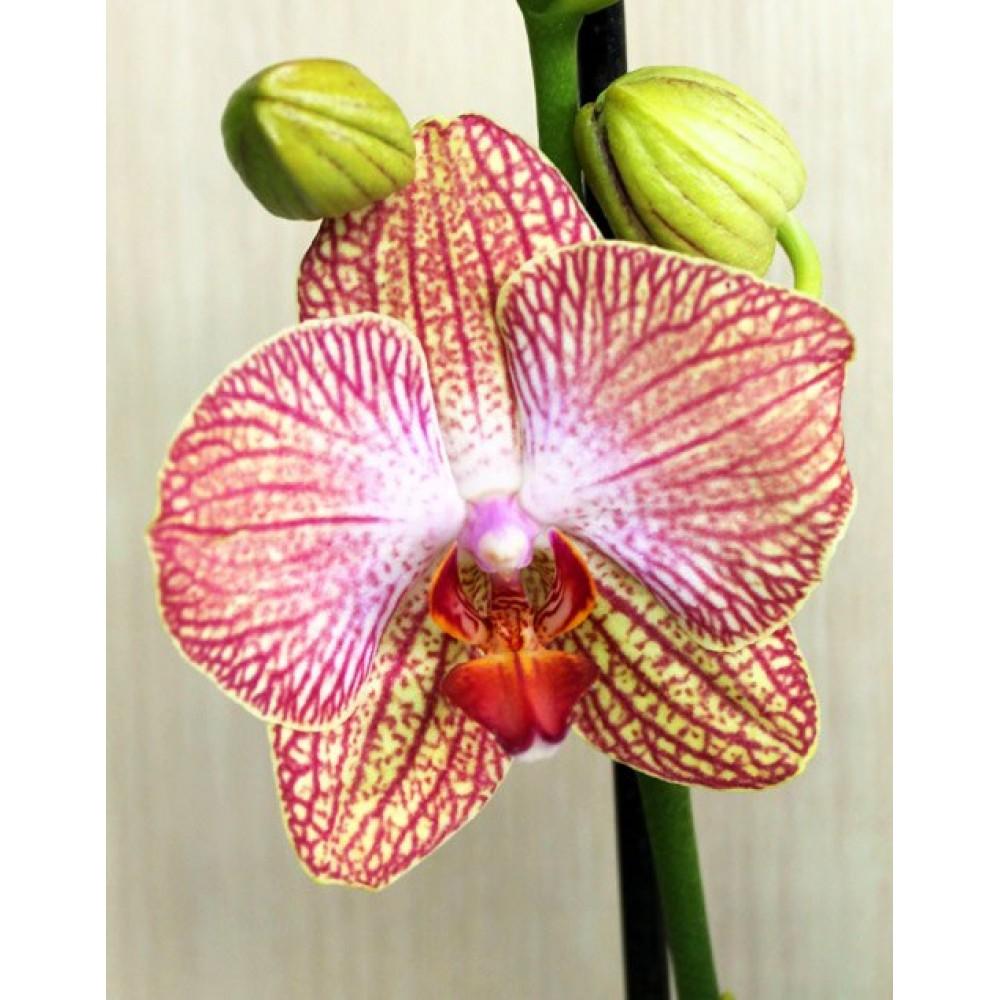 Орхидея фаленопсис Peachy