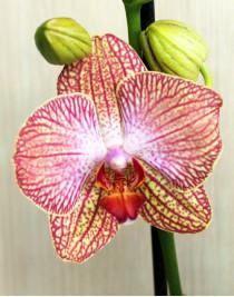 Phalaenopsis Peachy Orchid