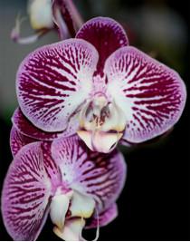 Phalaenopsis Orchid Piano