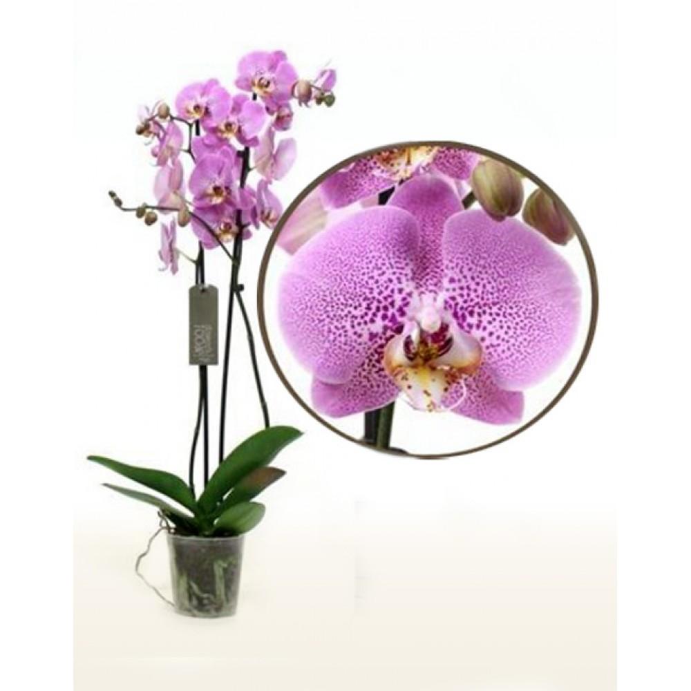 Орхідея фаленопсис Pink Panther