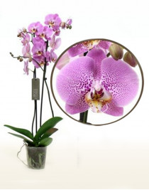 Phalaenopsis Orchid Pink Panther