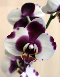 Phalaenopsis Orchid Polka Dot