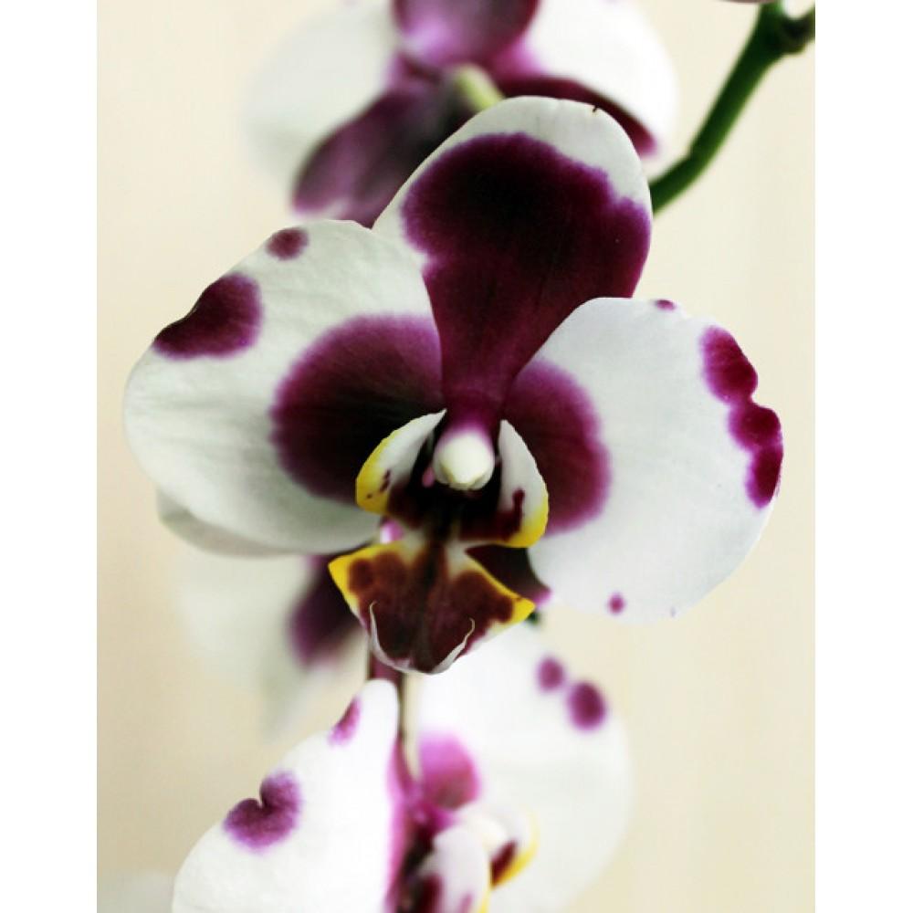 Орхидея фаленопсис Polka Dot
