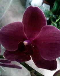 Орхідея фаленопсис Precious