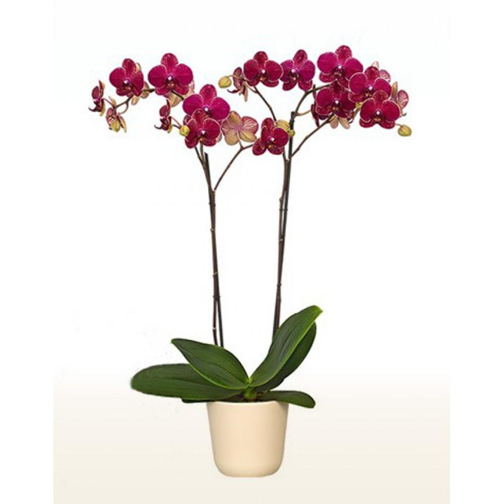 Орхидея фаленопсис Red Peachy