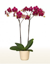 Phalaenopsis Orchid Red Peachy