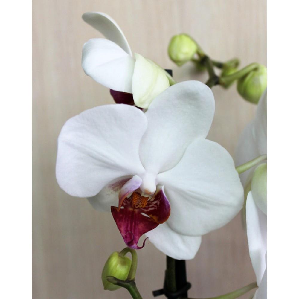 Орхидея фаленопсис Redlip