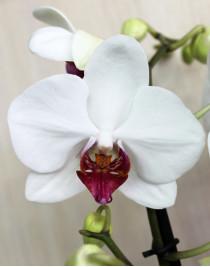 Phalaenopsis Orchid Redlip