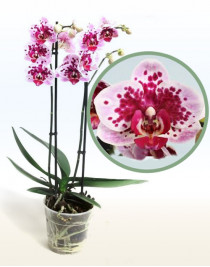 Phalaenopsis orchid Rembrandt