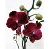 Орхидея фаленопсис Rossini