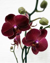 Орхідея фаленопсис Rossini