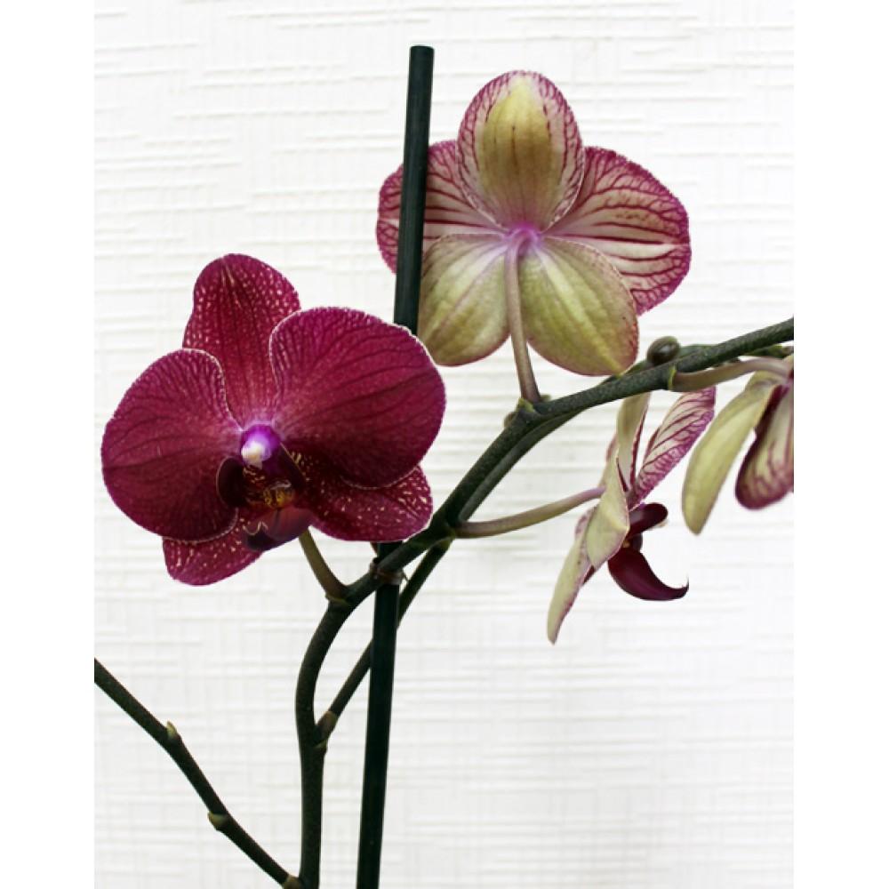 Phalaenopsis Rossini Orchid