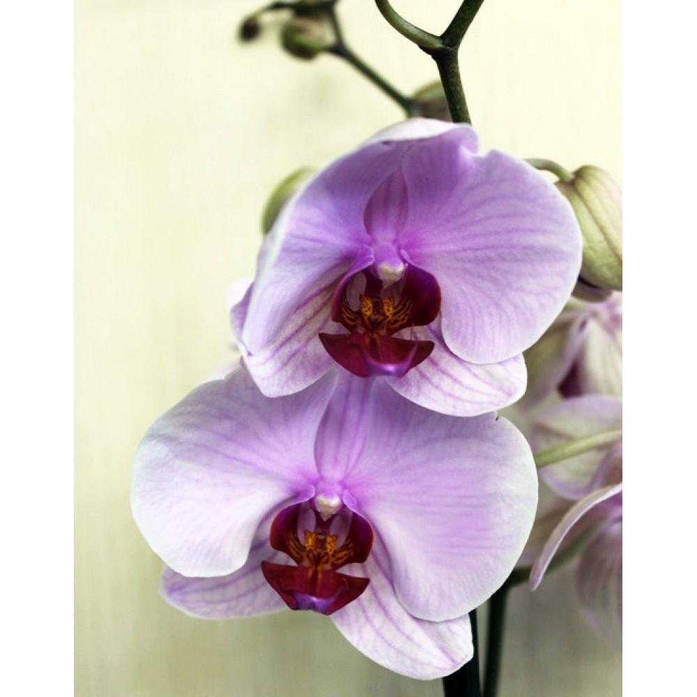 Орхідея фаленопсис Sacramento