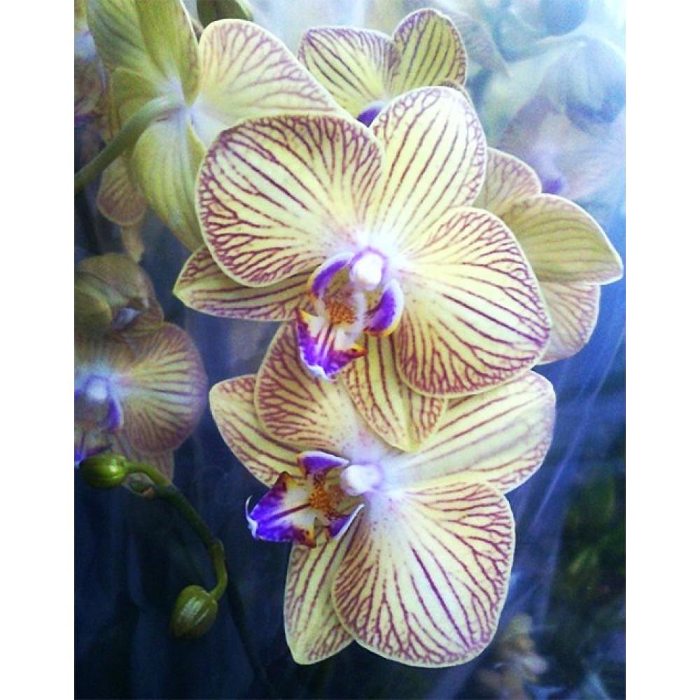 Орхидея фаленопсис Showpiece