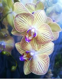 Phalaenopsis Orchid Showpiece
