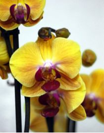 Phalaenopsis Orchid Solid Gold