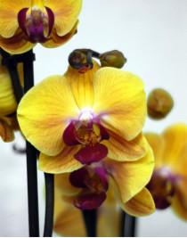Орхидея фаленопсис Solid Gold