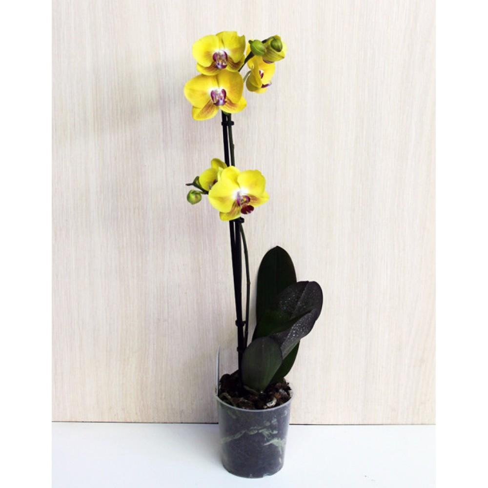 Орхідея фаленопсис Solid Gold