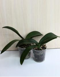 Орхідея фаленопсис відцвілий