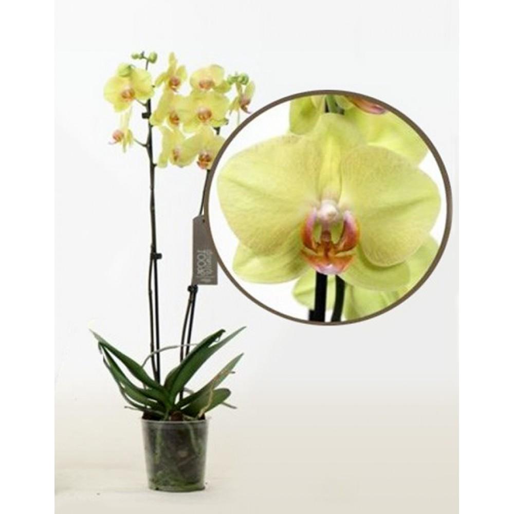 Орхідея фаленопсис Summer