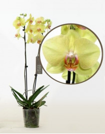 Phalaenopsis Orchid Summer