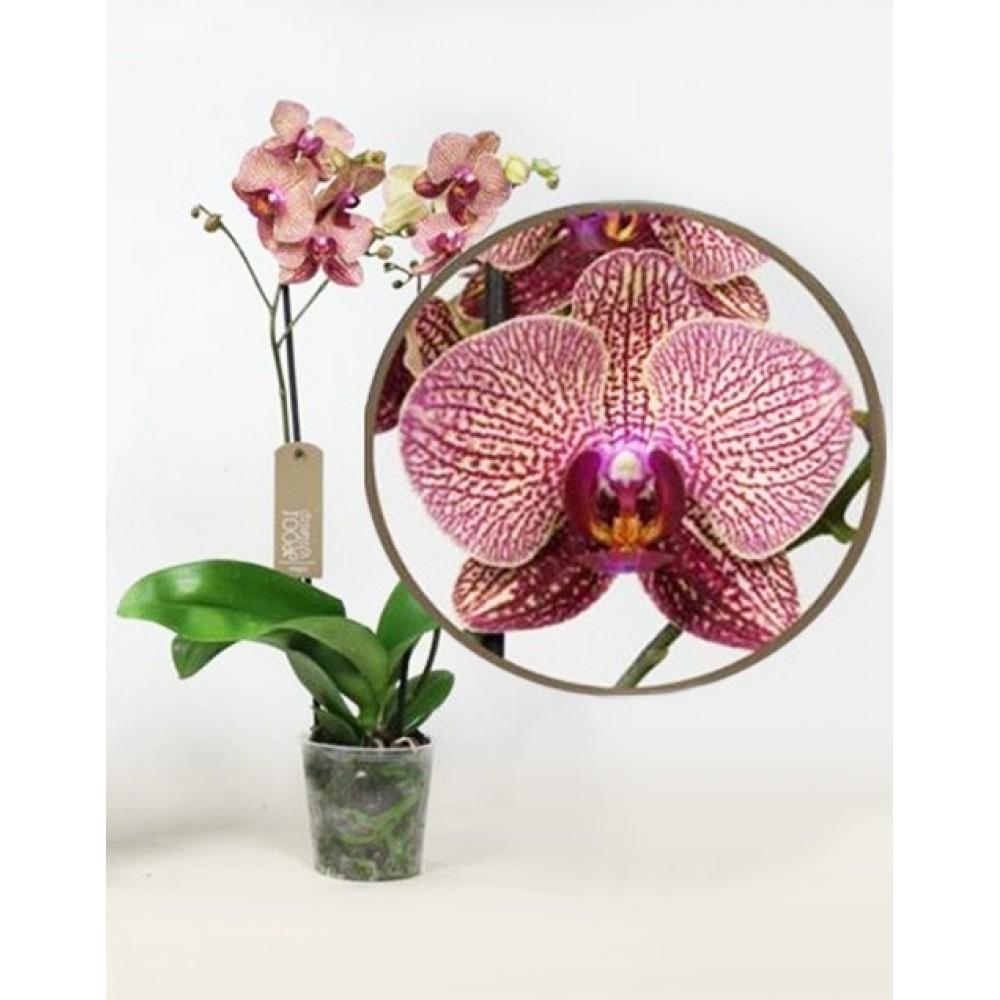 Phalaenopsis Orchid Super Girl