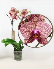 Орхидея фаленопсис Super Girl