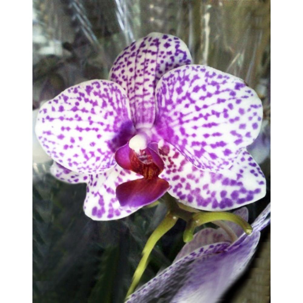 Phalaenopsis Tabby Orchid