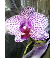 Орхидея фаленопсис Tabby