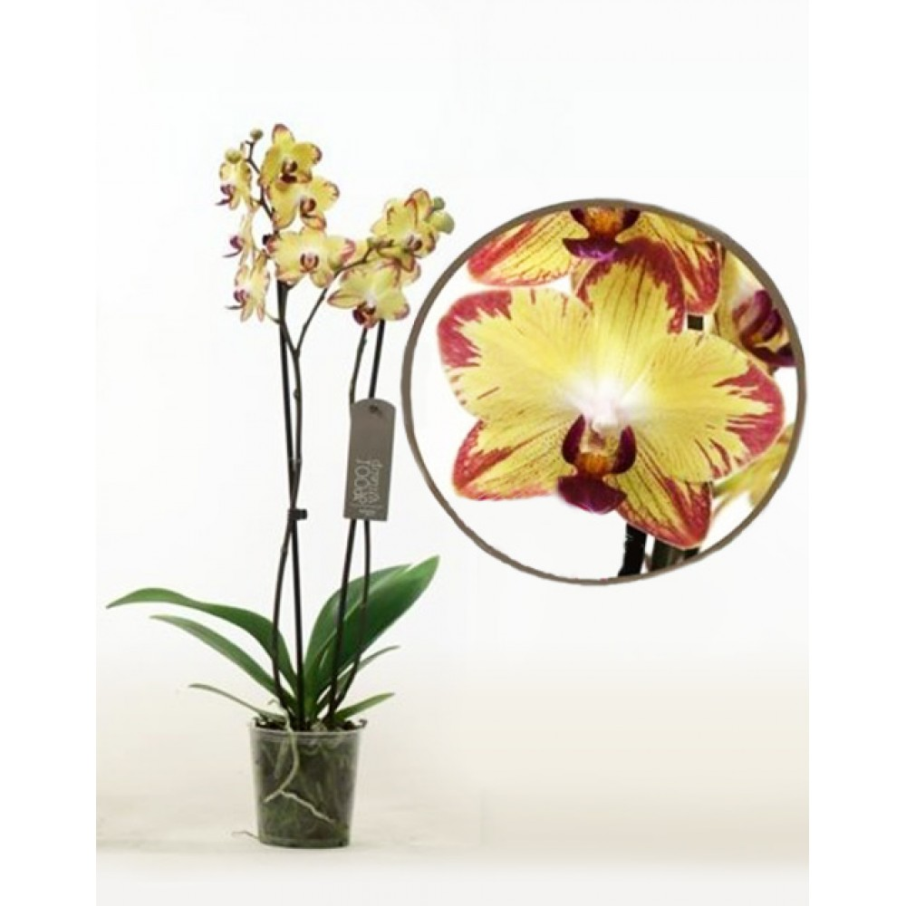 Орхидея фаленопсис Tiger