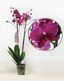 Орхидея фаленопсис Unusual Ideal
