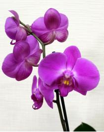 Орхидея фаленопсис Violet