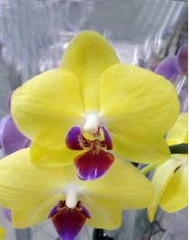 Phalaenopsis Orchid Yellow Beauty