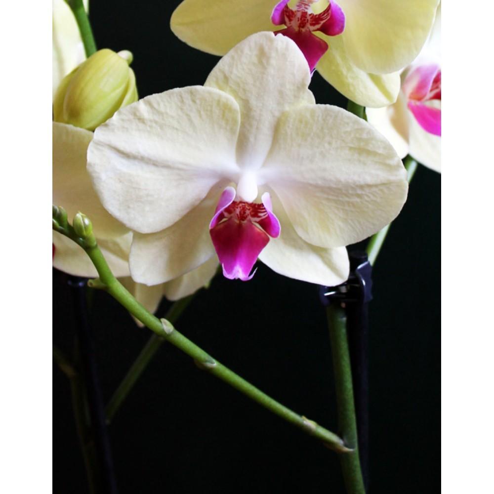 Орхидея фаленопсис Yellow Beauty