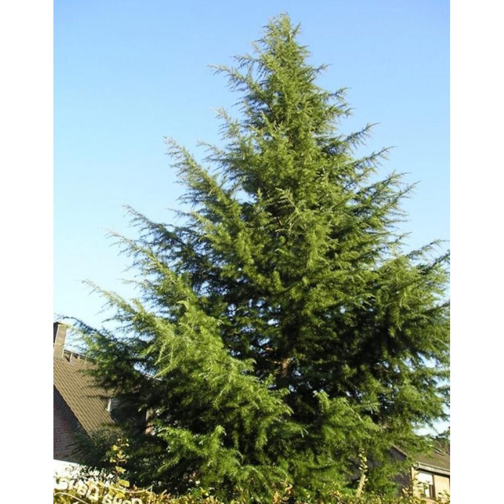 Whole-leaved fir (Abies holophylla)