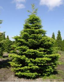 Korean fir (Abies koreana)