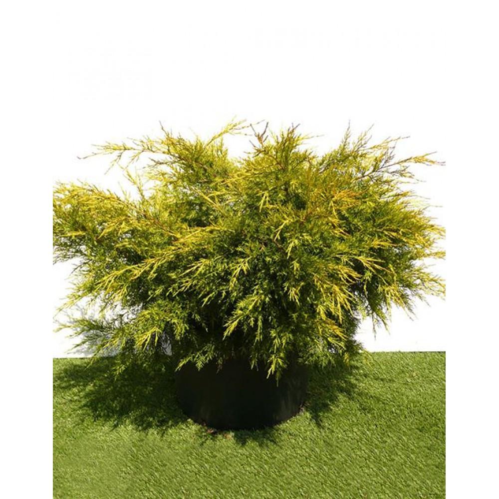 Juniper Chinese Kurivao Gold