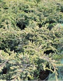 Juniper ordinary Green Carpet, cont. 3L