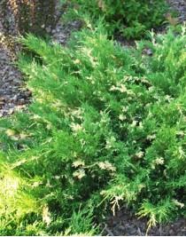 Juniper horizontal Andorra variegata