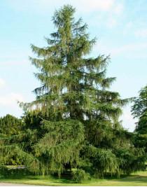 Лиственница европейская (Larix decídua)