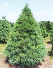 Pine Weymouth (Pínus strobus)