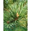 Scots pine (Pínus sylvestris)
