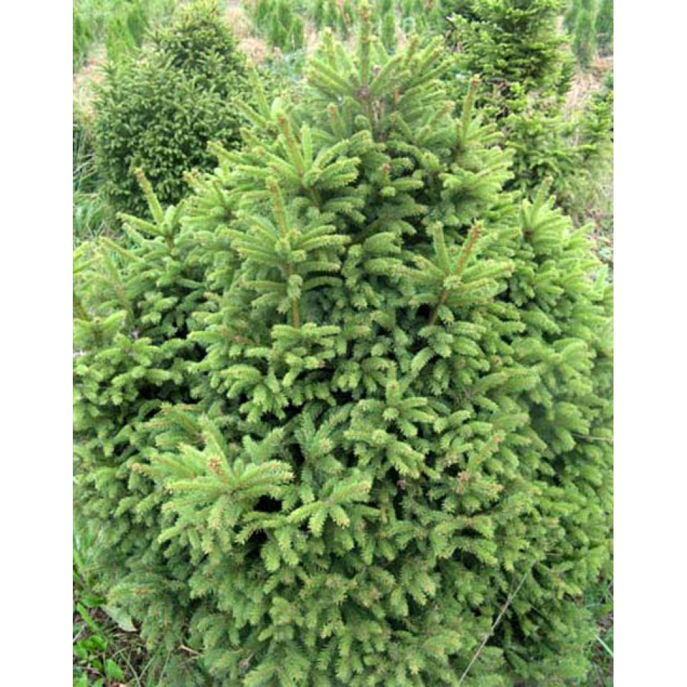 Norway spruce Barry (Picea abies Barryi)