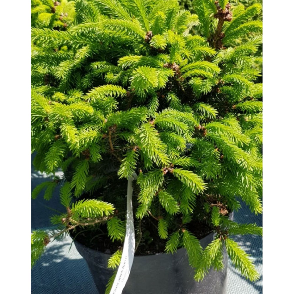 Ель обыкновенная Барри (Picea abies Barryi)