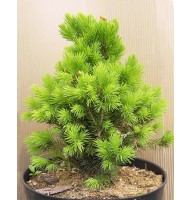 Canadian spruce Konica, container 2l